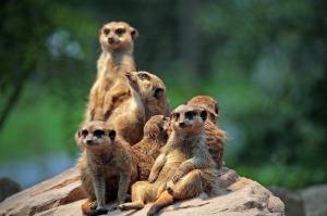 meerkat-658504_1280