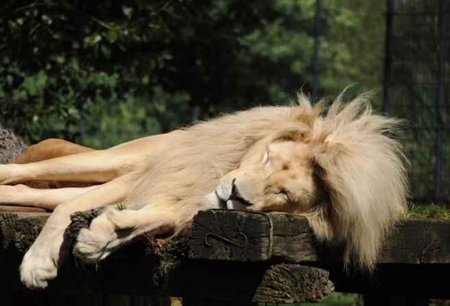 lion-1982580_1920